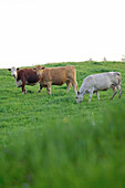 Beef Cattle Grazing In A Field, Canada, Ontario, Jerseyville