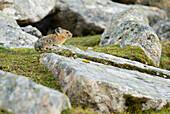A Pika Sits Atop A Rock In An Alpine Rocky Area. Skyline Trail, Jasper National Park, Alberta, Canada