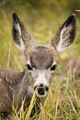 Mule Deer Near Maligne Lake, Jasper National Park, Alberta, Canada