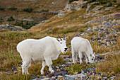 Mountain Goats Near Logan Pass, Glacier National Park Montana, Usa