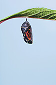 Monarch Butterfly Life Cycle. Chrysalis.