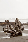 'A Large Drift Log Sits On Chesterman's Beach Near Tofino; British Columbia, Canada'