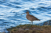 'Curlew (Numenius) Standing At The Water's Edge; Northumberland, England'