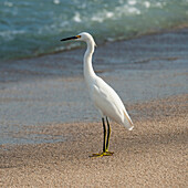 'A White Bird Standing On The Sand At The Water's Edge; Sayulita, Mexico'