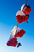 'Red Berries On A Mountain Ash Tree Branch Against A Blue Sky; Spruce Grove, Alberta, Canada'