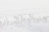 'Snow Covered Grass; Spruce Grove, Alberta, Canada'