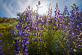 'Purple Lupine With Sunlight Behind It; Sutter, California United States of America'