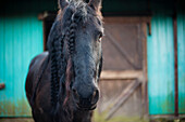 'Friesian Horse In Front Of A Barn; Saanichton, British Columbia, Canada'