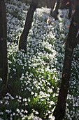 'Snowdrops (Galanthus) Covering The Forest Floor; Gatehouse Of Fleet, Dumfries, Scotland'