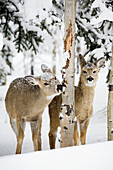 'Two Young Deer In A Snow Covered Forest Chewing On Tree Bark; Kananaskis Country, Alberta, Canada'
