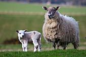 'A Sheep And Lamb Standing On Grass; Northumberland, England'