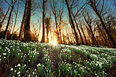 'An Abundance Of Snowdrops (Galanthus) On The Forest Floor At Sunset; Gatehouse Of Fleet, Dumfries, Scotland'