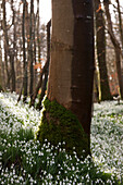 'Tree Trunk With Moss At The Base And An Abundance Of Snowdrops (Galanthus) On The Forest Floor; Gatehouse Of Fleet, Dumfries, Scotland'