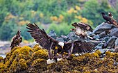 'Mature Bald Headed Eagles Along With Juvenile Eagles Fight For Food In Port Hardy; Vancouver Island, British Columbia, Canada'