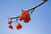 'Close-Up Of Ice Covered Red Berries On A Tree Branch In Winter; Old Terrebonne, Lanaudiere, Quebec, Canada'