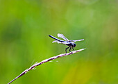 'A Dragonfly Balances On A Seed Head Of Grass; British Columbia, Canada'