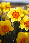 'Close up of daffodils in bloom;Woodburn oregon united states of america'