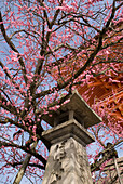 'Cherry blossom tree with japanese stone lantern and temple roof;Kyoto japan'