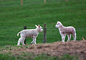 'Two lambs in a field;Northumberland england'