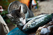 'A cat sniffs a dead fish;Yelapa jalisco mexico'