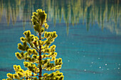 'Backlit evergreen tree with mountain blue lake in the background;Alberta canada'