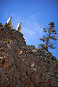 'Mountain goats (oreamnus americanus) standing on a rock ledge looking down;Carcross yukon canada'