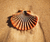 'A seashell on sand;Gold coast queensland australia'