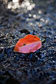 'A red leaf on a wet rock;Gold coast queensland australia'