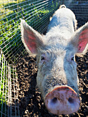 'A pig putting his snout to the camera;Murwillumba new south wales australia'