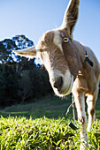 'A goat peers at the camera;Murwillumba new south wales australia'