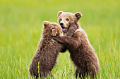 'Two brown bear cubs playing at lake clarke national park;Alaska united states of america'