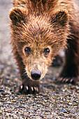 'Brown bear cub walking towards camera at lake clarke national park;Alaska united states of america'