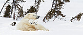 'Polar bear (ursus maritimus) sow and two cubs rest on their mother's back outside their den at wapusk national park;Manitoba canada'