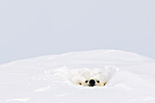 'Polar bear (ursus maritimus) sticking it's head out of a den at wapusk national park;Manitoba canada'
