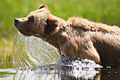 'Grizzly bear (ursus arctos horribilis) emerges from the water at the khutzeymateen grizzly bear sanctuary near prince rupert;British columbia canada'