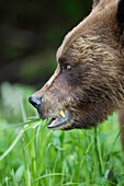 'Grizzly bear (ursus arctos horribilis) close up eating grass at the khutzeymateen grizzly bear sanctuary near prince rupert;British columbia canada'