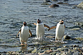 'Three penguins walking in the shallow water;Antarctica'