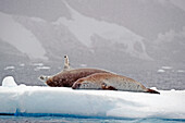 'Seals laying on a piece of ice;Antarctica'