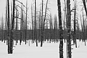 'Leafless trees in the snow in winter in yellowstone national park;Wyoming united states of america'