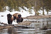 'Buffalo walking along the river's edge in yellowstone national park;Wyoming united states of america'