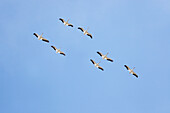 'White pelicans in flight against a blue sky;Montana united states of america'