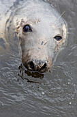'A seal in the water;Eyemouth scottish borders scotland'