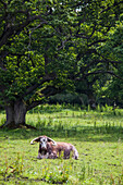 'A bovine animal laying on the grass;Northumberland england'