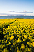 'Colourful yellow rape seed field with flowers blowing in the wind near anagassan;County louth ireland'