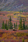 View Of An Adult Bull Moose Standing Amongst Fall Tundra Foliage, Denali National Park And Preserve, Interior Alaska, Autumn