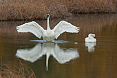 A Trumpeter Swan Flaps Its Wings While Its Mate Sits At Its Side, Potter Marsh, Anchorage, Southcentral Alaska, Autumn