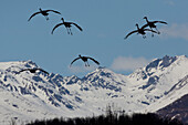 Group O Sandhill Cranes Spread Their Wings And Prepare For A Landing In The Mat-Su Valley Near Palmer, Southcentral Alaska, Spring