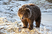 Captive: Kodiak Brown Bear Cub With Frost Covered Fur Standing On Snowcovered Ground, Alaska Wildlife Conservation Center, Southcentral, Alaska, Winter