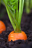 Macro Of Carrots Growing In Soil In A Garden, Kodiak Island, Southwest Alaska, Summer