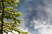 'Close up of a spider's web with dew drops and evergreen tree;Field british columbia canada'